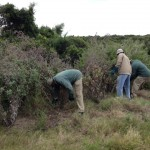 Kenton Eco Estate Rangers removing invasive weeds